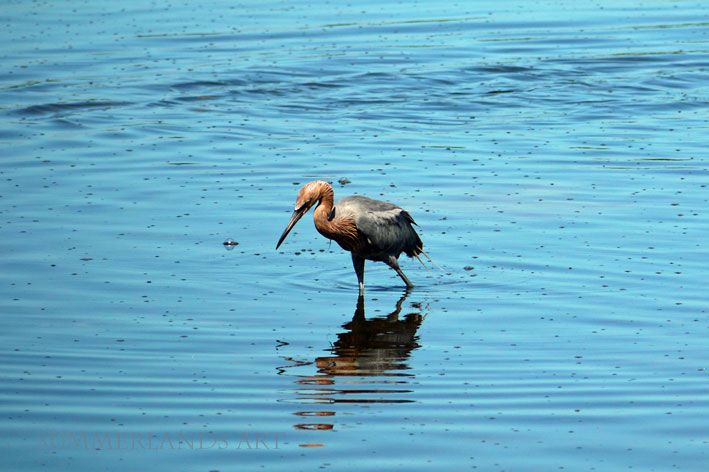 A Reddish Egret in Florida